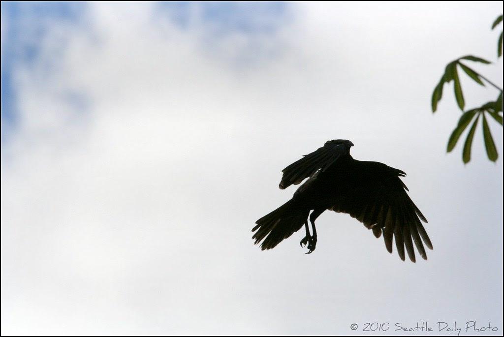 Frat Crow Flying in a Blue Sky