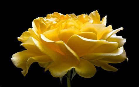 Download HD Yellow Rose Flower Wallpaper   WallpapersByte