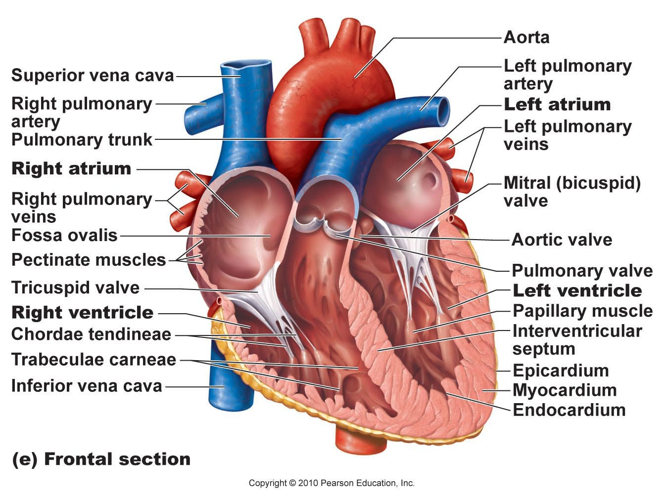 labeled drawing of the heart 59