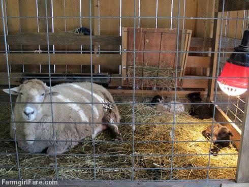 Frenchie's triplets (4) - FarmgirlFare.com