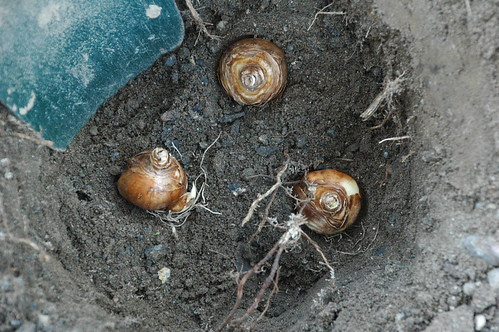 Daffodil bulbs in place