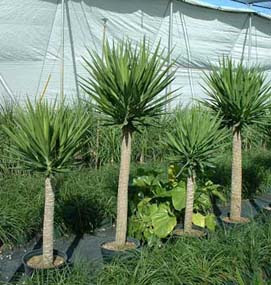 Yucca Plant Care