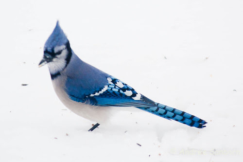 Blue Jay (7 of 7).jpg