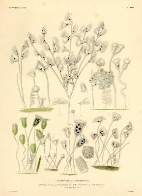 Vorticella, Carchesium