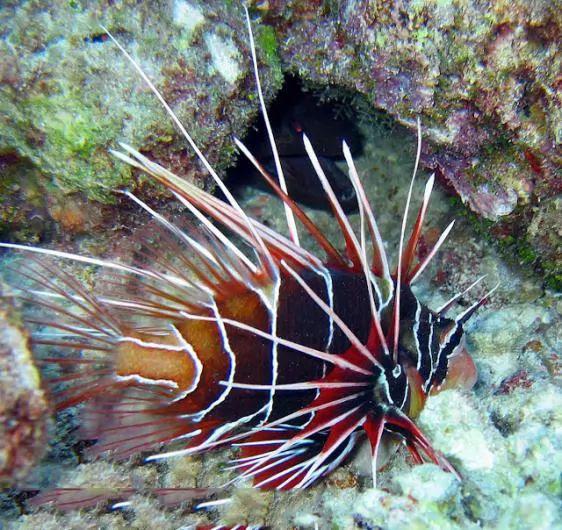 3. Lion Fish