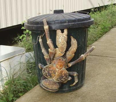 coconut_crab02