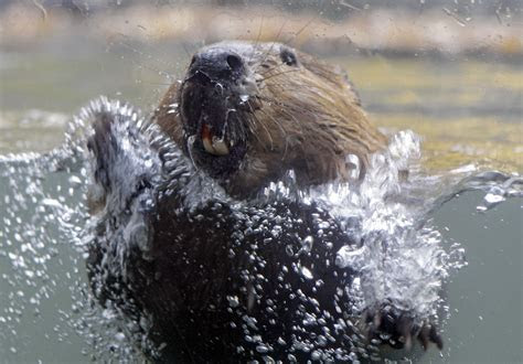 Beavers, fish and cows: Restless co existence in Grant County   OregonLive.com