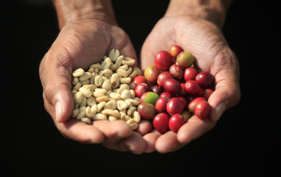 Un café puede tener muchos sabores: mandarina, panela, limón entre otros. FOTO: Manuel Saldarriaga.