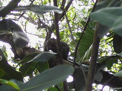 plantain squirrel (cropped)