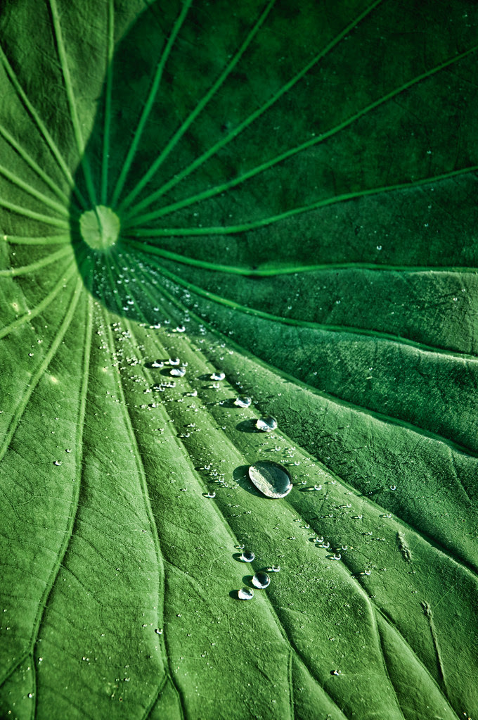 Lotus Leaf and Water,by Reed A. George