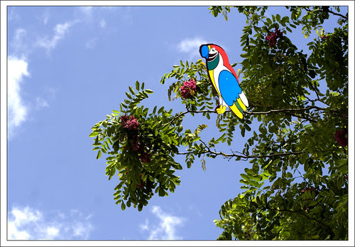 acacia y papagayo