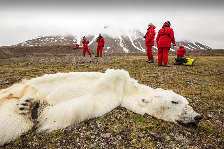 Wildlife Photography 2013: A male Polar Bear (Ursus maritimus) starved to death