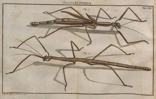 Locusta Indica V.2 a