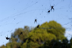 spiders, black widow with Sigma 105mm f/2.8 1:1 Macro EX DG