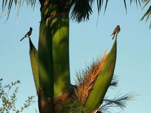 Blue Jay and Kestrel 4-20101210