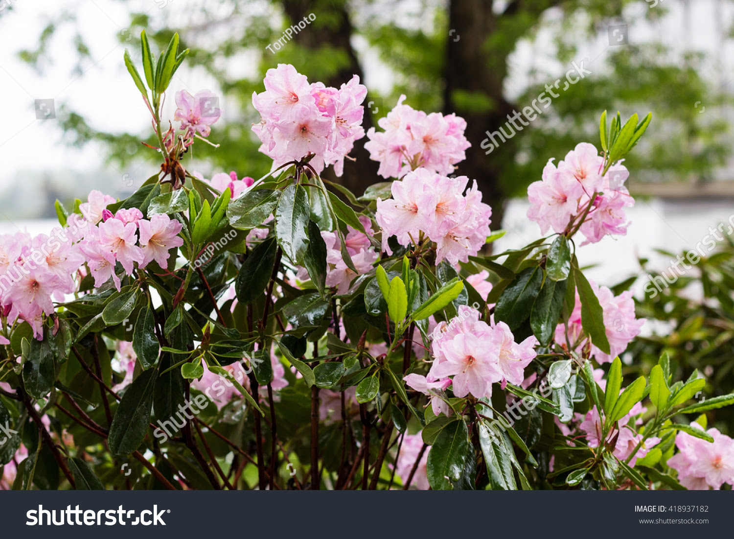 azalea, azalia, background, beautiful, beauty, blog, bloom, blooming, blossom, blossoming, blurred, botanical, botany, bush, color, colorful, decorative, defocused, flora, floral, flower, focus, fresh, garden, gardening, green, leaf, natural, nature, outdoors, park, pastel, petal, pink, plant, ponticum, pretty, rain, rhododendron, romance, romantic, season, seasonal, shallow, spring, summer, tropical, wet