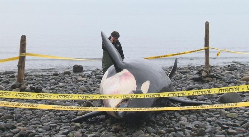 J32-death-southern-resident-killer-whales