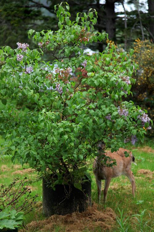 deer partially behind tree, Kasaan, Alaska