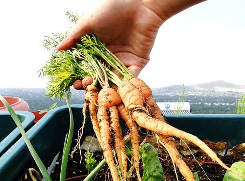 1era cosecha de zanahoria