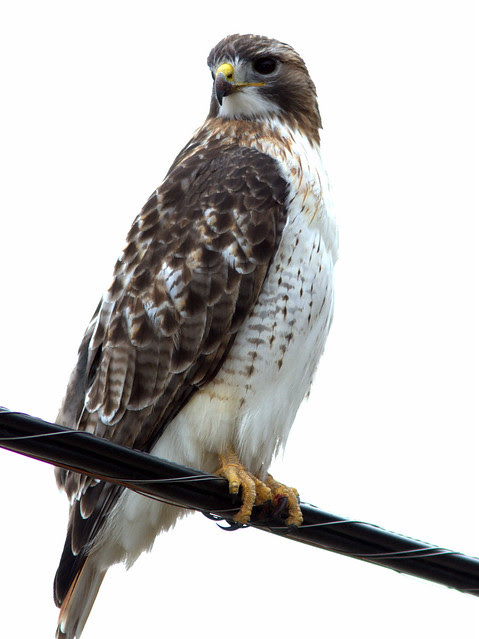 Red-tailed Hawk 2-20130119