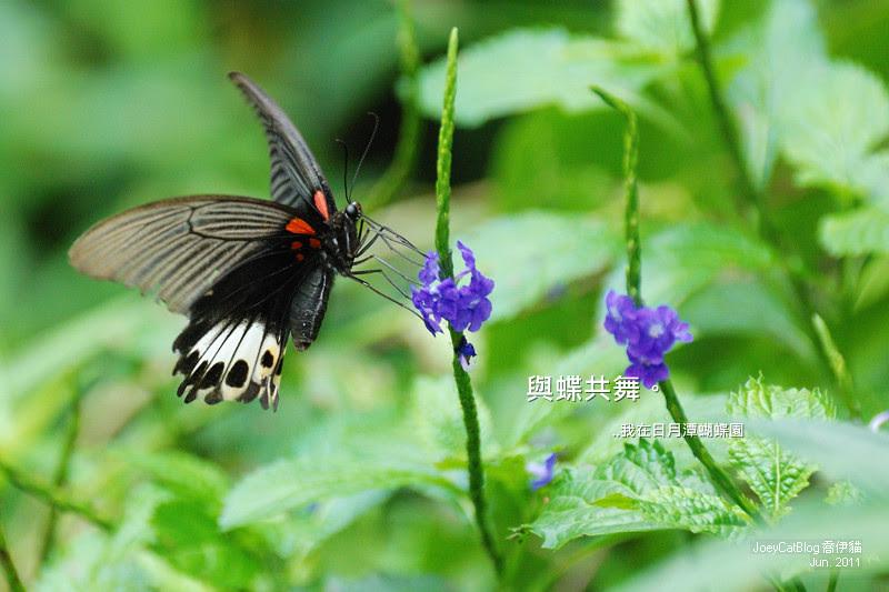 2011_0626【南投】與蝶共舞,我在日月潭蝴蝶園cover