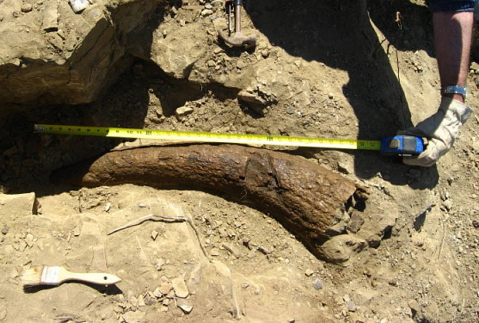 Triceratops Horn Dated to 33,500 Years