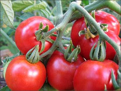 First tomatoes for 2008