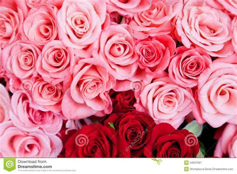 Pink And Red Roses Royalty Free Stock Photography   Image