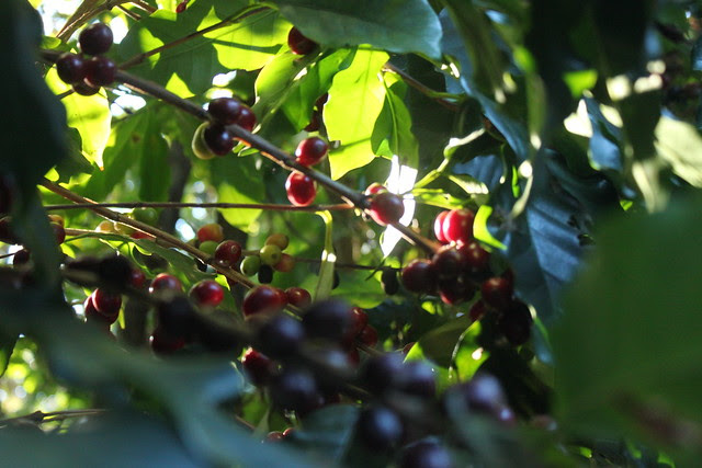 More freely growing  coffeetrees