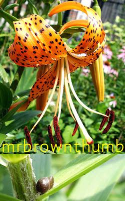 Lilium lancifolium-Tiger Lily