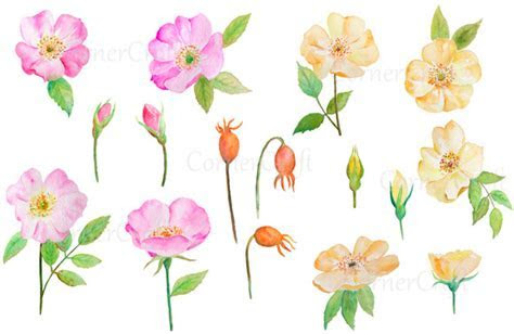 Watercolor Wild Rose Pink and Yellow ~ Illustrations on