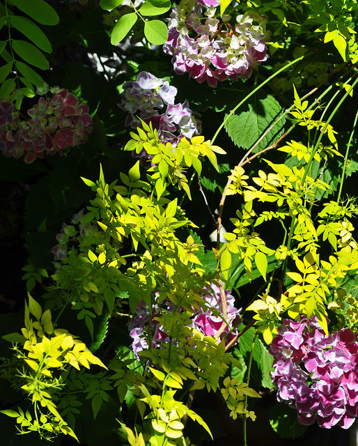Hydrangea macrophylla 'Frau Kinue' and Jasminum officinale 'Aurea' (3)