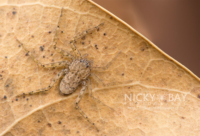 Wall Crab Spider (Selenopidae) - DSC_9122