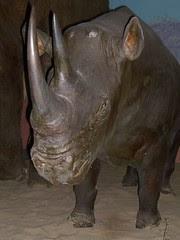 durban natural history museum - rhino