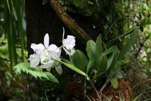 Orquídeas em árvores