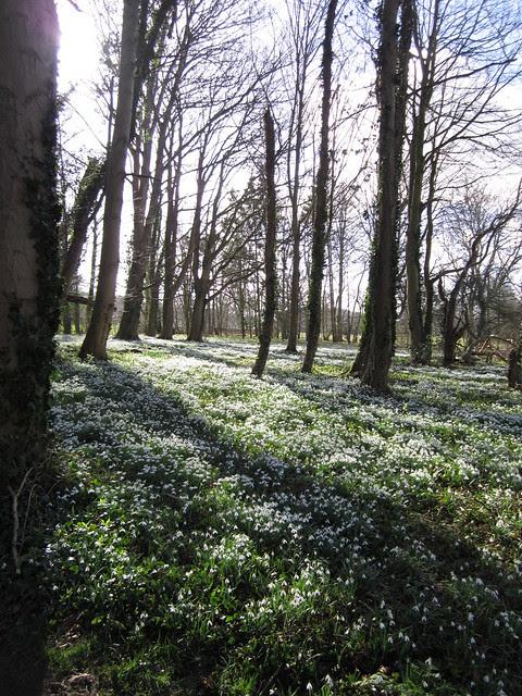 snowdrop walk Walsingham Feb 2014 (15)