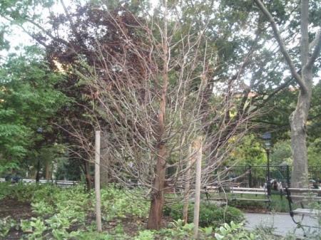 washington_square_dead_tree_6North