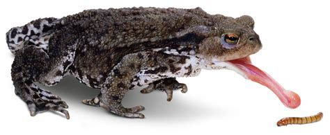 Amphibians hunting and eating images   Animals and Nature lessons   DK Find Out!
