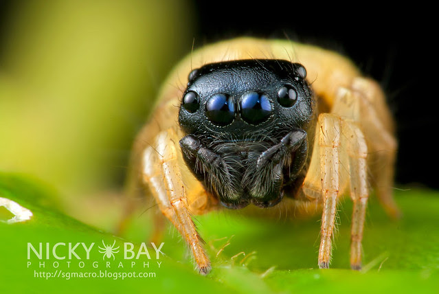 Jumping Spider (Pystira ephippigera) - DSC_9179