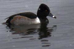 ducks 048
