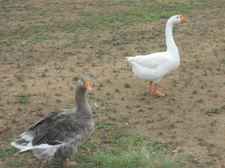 More of Gustav Our Gander & Gigi Our Goose