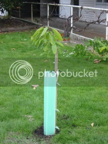 New avacado tree