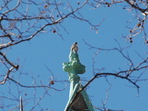 Red-Tail on Cathedral Finial
