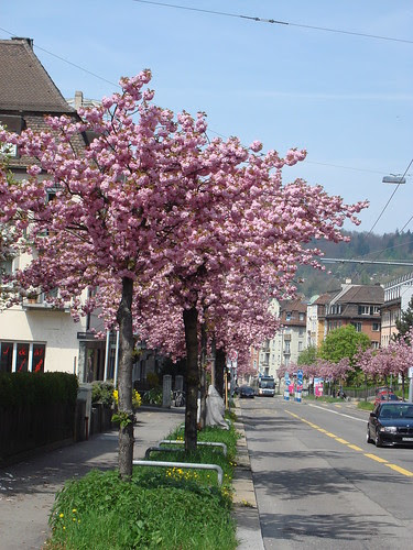 Kirschblüte Rotbuchstrasse Zürich April 2010