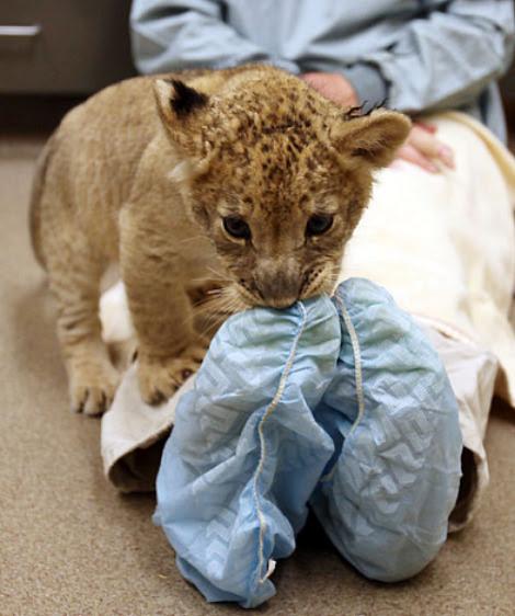 Tulsa zoo lion