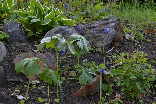 mayapples and grape hyacinth