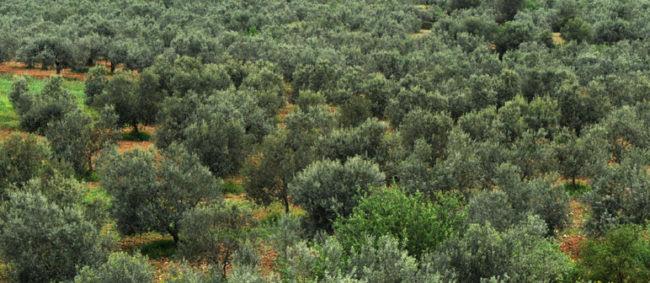 Σε δημοπρασία καλλιεργήσιμη έκταση με 900 ελαιόδεντρα στο Δήμο Αμφιλοχίας