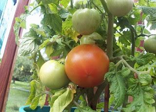 Tomatoes_70212