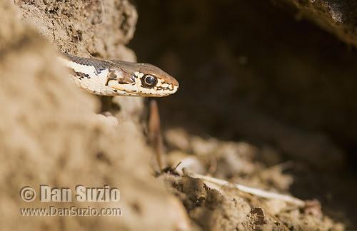 Alameda whipsnake, Masticophis lateralis euryxanthus