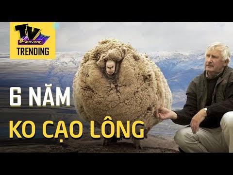 Chú cừu quyết ' bỏ nhà đi bụi' suốt 6 năm vì sợ bị cạo lông